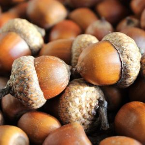 How to prepare acorns for crafts