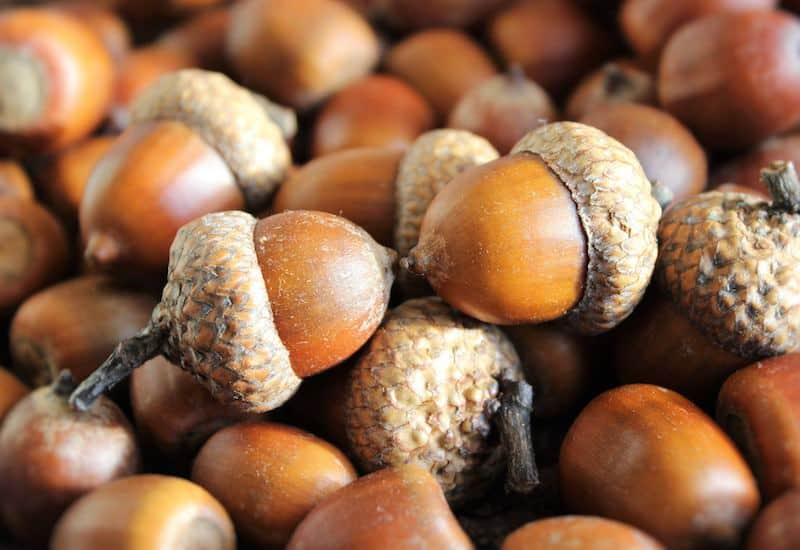 Are you ready for autumn crafts? Learn how to dry acorns for your fall projects! Prevent worms and find out how to preserve the acorns for decor.